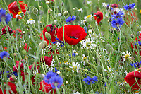 Nectar & Pollen wild flower mix <br /> ©Tim Scrivener Photographer 07850 303986<br />      ....Covering Agriculture In The UK....