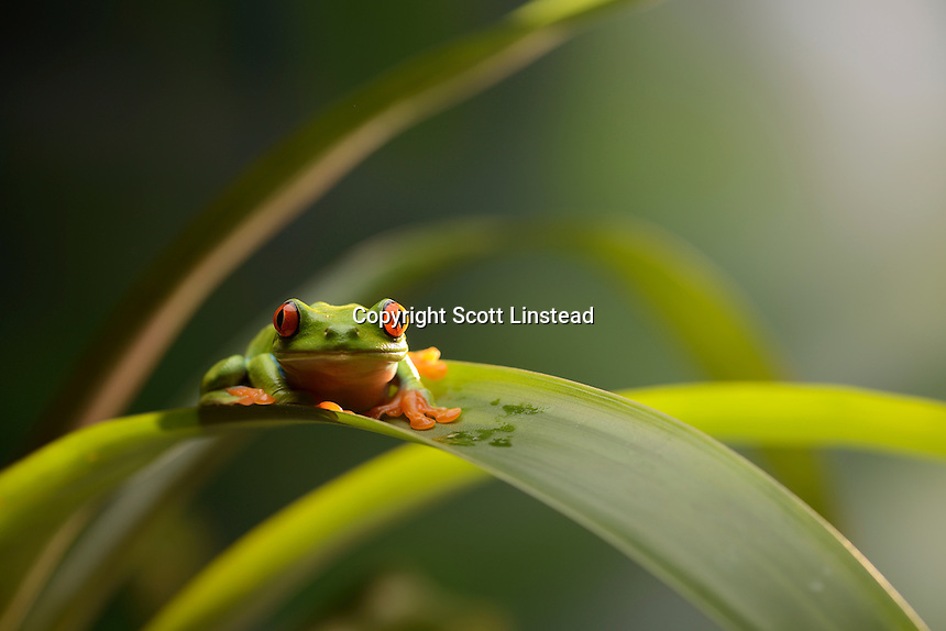 A red eyed tree frog perched on a bromeliad plant