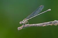 338400003 a wild female blue-ringed dancer damselfly argia sedula perches on a dead twig in breckenridge park in san antonio texas