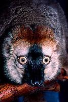 Red Fronted Lemur, Lemur fulvus rufus