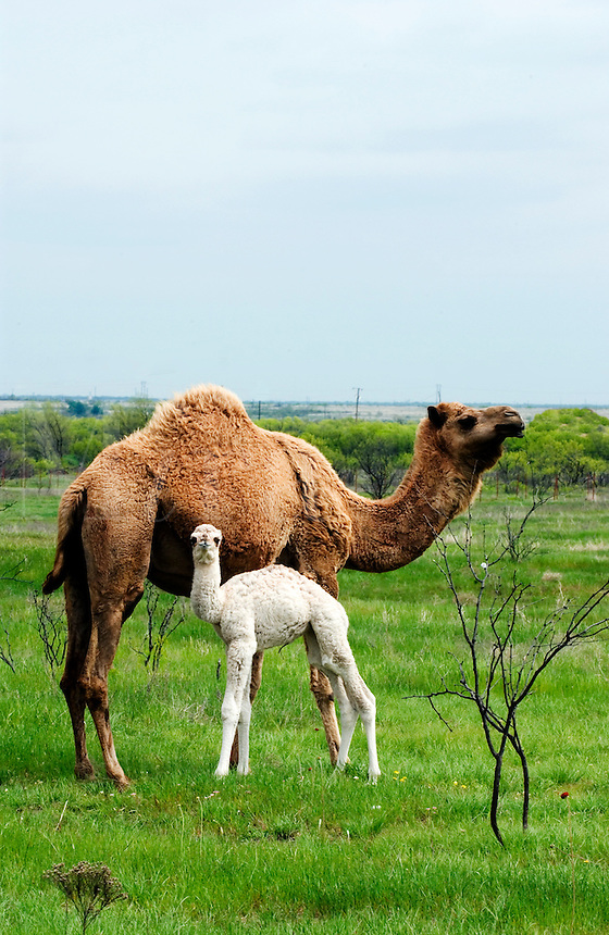 Camel and calf in a Texas field in the spring.