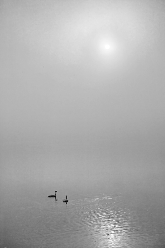 Trumpeter Swan on Yellowstone River with fog and sunrise. Yellowstone National Park, Wyoming