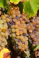 Bunches of ripe grapes. Semillon. Despagne Vineyards and Chateaux, Bordeaux, France