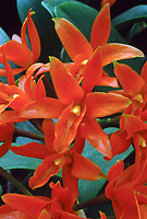 Cattleya aurantiaca = Guarianthe aurantiaca, orchid species Mexico to Costa Rica