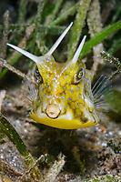 longhorn cowfish, or horned boxfish, Lactoria cornuta, with three hornes, Anilao, Batangas, Philippines, Pacific Ocean