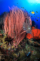 Red Whip Coral (Ellisella ceratophyta) and Crinoids decorate the top of Susan's Reef in Kimbe Bay off New Britain, Papua New Guinea.
