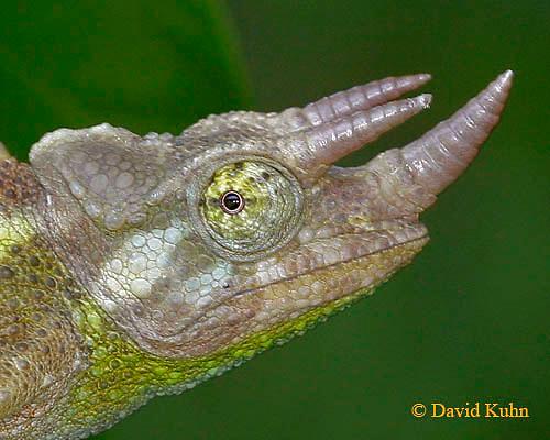 0716-06ww  Jackson chameleon - Chamaeleo jacksonii - © David Kuhn/Dwight Kuhn Photography
