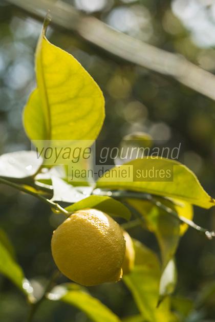 Europe/France/06/Alpes-Maritimes/Menton:Citrons de Menton dans le verger de  Xavier Habar: le verger de l'Au-Delà