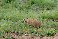 673010029 a wild black-tailed prairie dog cynomis ludovicianus in a small prairie dog town on empire ceienega natural conservation area pima county arizona