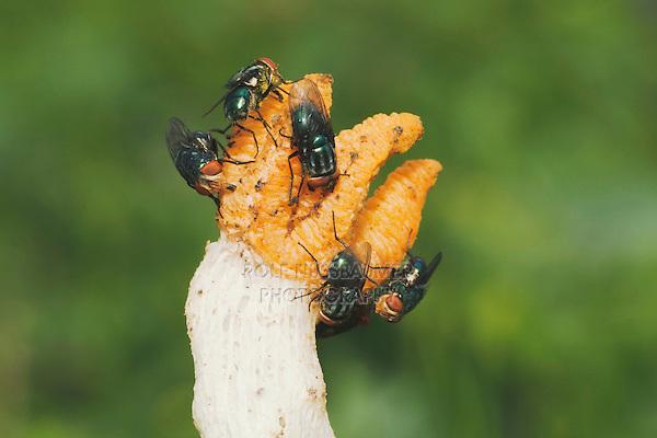 Flesh fly (Sarcophaga sp.), feeding on Stinkhorn mushroom (Phallaceae) (Clathraceae), Sinton, Corpus Christi, Coastal Bend, Texas, USA