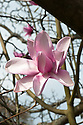 Magnolia campbellii x magnolia campbellii var. mollicomata in flower, late March.