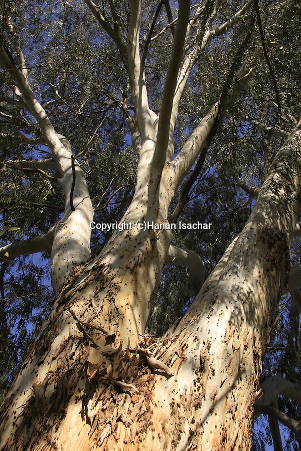 Israel, Coastal Plain, Eucalyptus tree in Wadi Hatzav .