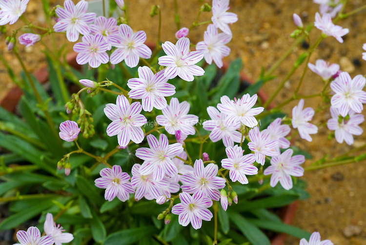 Lewisia columbiana, Columbian lewisia, native American wildflower, mountain regions alpine flower, in striped pink lavender and white bloom, veining of petals