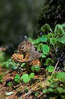 Douglas squirrel or chickaree feeding on cone.  Pacific Northwest.