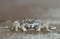 Ghost Crab, Ocypode sp., adult, Rio Grande Valley, Texas, USA, June 2004