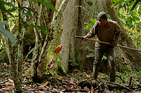 A cocoa farm labourer, at Lucien Kro camp, cuts a cocoa pod from the tree it is growing from.