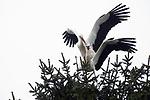 Foto: VidiPhoto<br /> <br /> ARNHEM &ndash; Het Betuwse dorp Valburg heeft sinds donderdag voor het eerst in tientallen jaren weer een ooievaarsechtpaar. Terwijl er -in vogelvlucht- op 100 meter afstand al jarenlang een stabiele paal ongeduldig staat te wachten op bewoning, hebben de dieren gekozen voor een hoge, zwiepende dennenboom midden in het dorp om daar hun nest te gaan bouwen en alle voorbereidingen te treffen voor gezinsuitbreiding. Terwijl veel ooievaars al ruim in de eieren zitten, moet dit -vermoedelijk onervaren stel- nog helemaal opstarten. Het is nog maar de vraag of de relatief slappe top van de boom straks het zware nest inclusief vogels wel kan houden. Dorpsbewoners zijn enthousiast, maar houden hun adem in. Dat doet ook het eksterpaar op hun nest in dezelfde boom. Dat is zichtbaar niet blij met de nieuwe buren. Volgens vogeldeskundigen bouwen ooievaars steeds vaker in bomen, hoewel een denneboom hoogst uitzonderlijk is. Tot 2016 nestelden de dieren zich vooral op plekken die door mensen zijn gemaakt, zoals hoge gebouwen of palen. Vorig jaar werden op diverse plekken boomnesten gesignaleerd. Die trend lijkt zich nu door te zetten. Waarom dit gebeurt is nog een mysterie, maar vogelbeschermers beschouwen dit wel als een goede, natuurlijke, ontwikkeling. Landelijk gezien gaat het heel goed met de ooievaars. Het aantal broedparen neemt landelijk gezien nog altijd toe. Er zijn nu tussen de 1025 en 1075 broedparen.