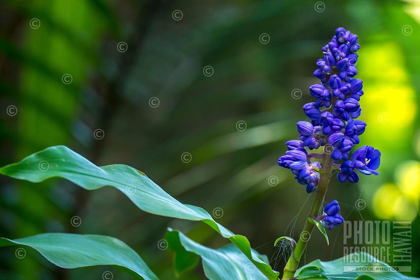 Purple flowers in bloom at at Hawaii Tropical Botanical Garden near Onomea Bay in Papa'ikou near Hilo, Big Island of Hawai'i.