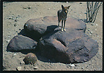 FB17,  coyote on rock