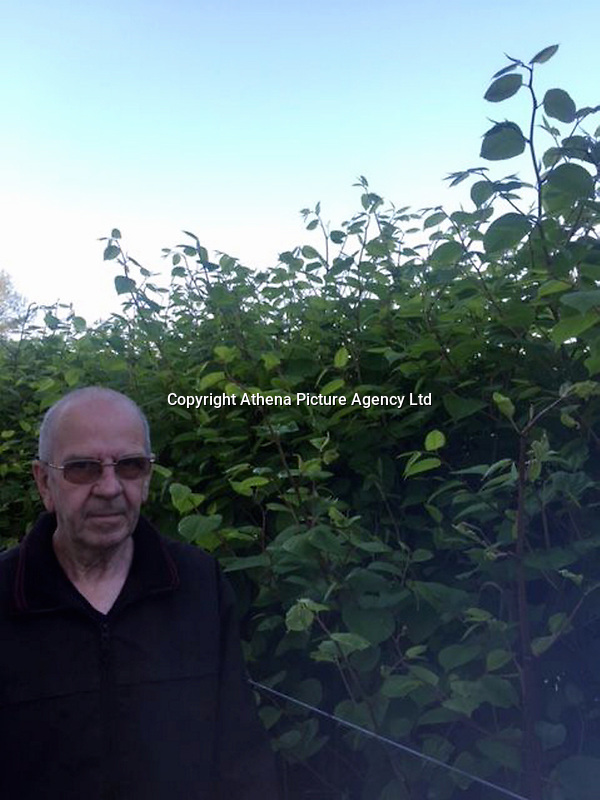 """COPY BY TOM BEDFORD<br /> Pictured: Robin Waistell by the Japanese knotweed behind the properties in Maesteg.<br /> Re: A homeowner whose bungalow is towered over by Japanese knotweed on a railway line has won a four-year legal fight for compensation by Network Rail.<br /> Robin Waistell claimed he was unable to sell because the rail body had ignored requests to tackle the invasive weed on the bank behind his home in Maesteg.<br /> The case was seen as a likely test for homeowners whose property is blighted by knotweed on railway embankments.<br /> Network Rail said it would be """"reviewing the judgement in detail"""".<br /> It is understood the rail infrastructure body was refused immediate leave to appeal against the ruling.<br /> Network Rail faces potential legal costs running into six figures after losing the case in Cardiff bought by Mr Waistell and a neighbour.<br /> Widower Mr Waistell, 70, had moved to the bungalow from Spain after his wife died.<br /> He had hoped to return to the sun, but found his property sale stymied by the knotweed growing on adjacent Network Rail land and was asking for £60,000 compensation for loss of value."""