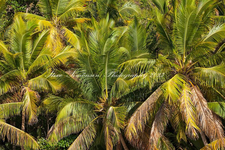 Coconut Palm Trees<br /> St. John<br /> U.S. Virgin Islands
