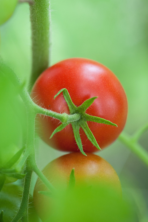 Tomato 'Alicante', mid September.