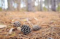Scotch Pine 'Pinus sylvestris L.' cones and needles on forest floor