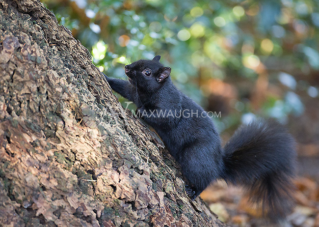 Black morph gray squirrels are often seen at British Columbia's Reifel Bird Sanctuary.