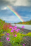 Fireweed and rainbow over Glenn Highway with fall color foliages, Southcentral Alaska, Autumn.