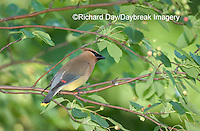 01415-02203 Cedar Waxwing (Bombycilla cedrorum) in Shadblow Serviceberry bush (Amelanchier canadensis) Marion Co. IL
