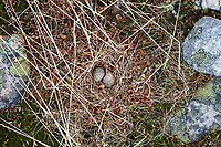 Adult Temminck's Stint (Calidris temminckii) nest. Varanger Peninsula, Norway. June.