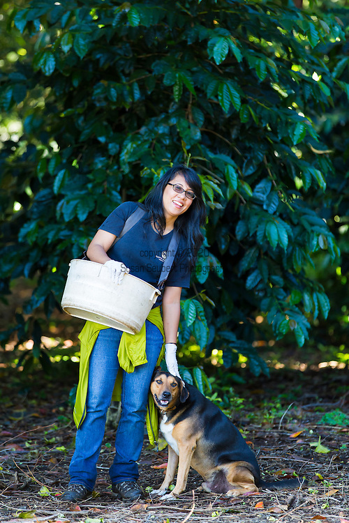 Joan Obra, daughter of Loria Obra, the owner of Rusty's Hawaiian Coffee, picking coffee, known as cherry, and at her coffee farm in an area called Cloud Rest in the district of Ka'u on the Big Island of Hawaii, USA, America