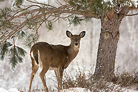White-tailed doe standing in a wintery backyard garden.
