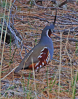 Mountain quail adult