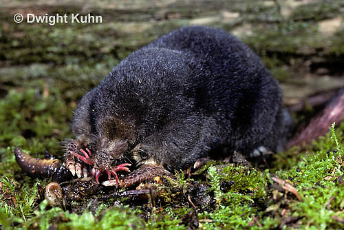MB01-034x  Star-nosed Mole - adult eating worm - Condylura cristata