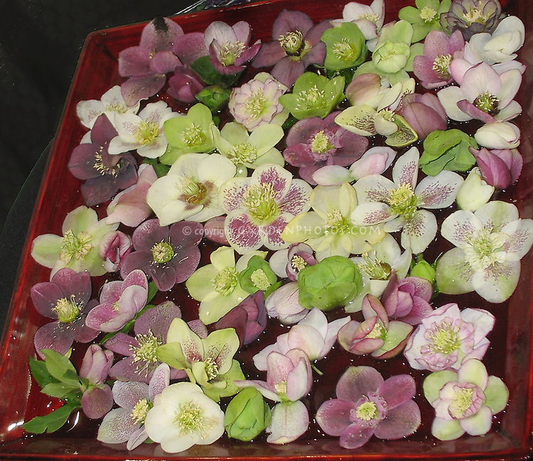 Helleborus x hybridus Pike Knot Strains (singles and doubles) mixed cut flower hellebores in bowl of water floating flowers