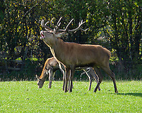Red Deer stag calling and spraying. Yorkshire.