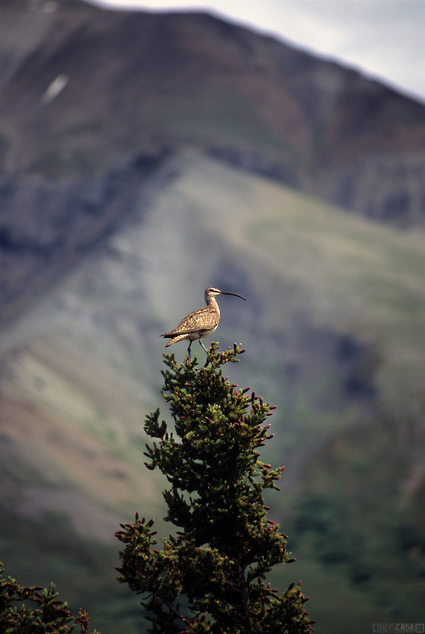 Whimbrel, Numenius phaeopus, in Denali National Park, Alaska.<br /> <br /> The whimbrel is a wader in the large family Scolopacidae. It is one of the most widespread of the curlews, breeding across much of subarctic North America, Europe, and Asia, as far south as Scotland.<br /> <br /> It is a migratory species, wintering on coasts in Africa, South America, south Asia into Australasia, and southern North America.