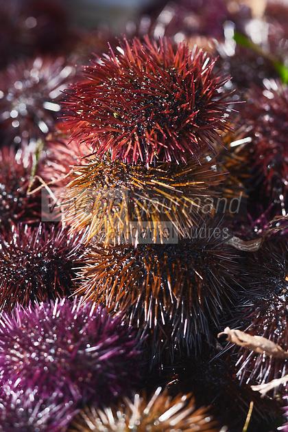 Europe/France/2A/Corse du Sud/Ajaccio: Le marché au poisson - Détail  d'un étal d'oursins