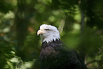 Bald eagles by Frank Balthis