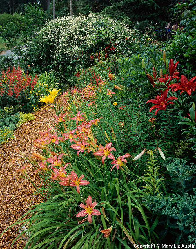 Vashon Island, WA:  Orange day lilies and deep red Asiatic lilies border a pathway with clematis and cape fuschia (Phygelius sp) blooming in the background
