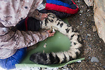 Snow Leopard (Panthera uncia) male during collaring with ranger, Ulan Abulgaziev, measuring temperature, Sarychat-Ertash Strict Nature Reserve, Tien Shan Mountains, eastern Kyrgyzstan