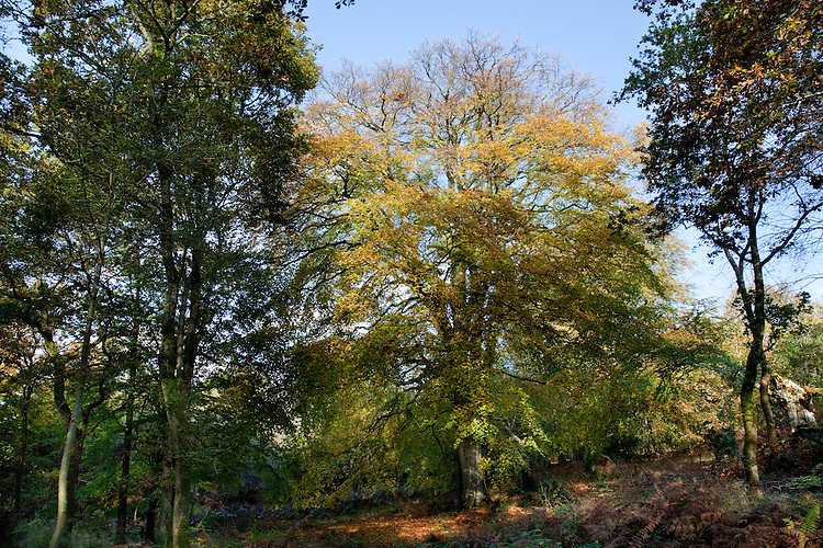 Beech In Autumn, Savernake Forest, Wiltshire. Beech Fagus sylvatica Fagaceae Height to 40m. Imposing deciduous tree with domed crown. Bark Smooth and grey. Branches Ascending. Buds reddish, to 2cm long, smooth and pointed. Leaves To 10cm long, oval, pointed, with wavy margin. Reproductive parts Male flowers pendent, clustered. Female flowers paired with brownish bracts. Fruits are shiny 3-sided nuts, to 1.8cm long, enclosed in a prickly case. Status Common native in S England; widely planted elsewhere.
