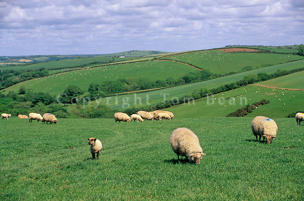 Sheep grazing in pastures in English coutryside near Bude, Cornwall, England, AGPix_0133.