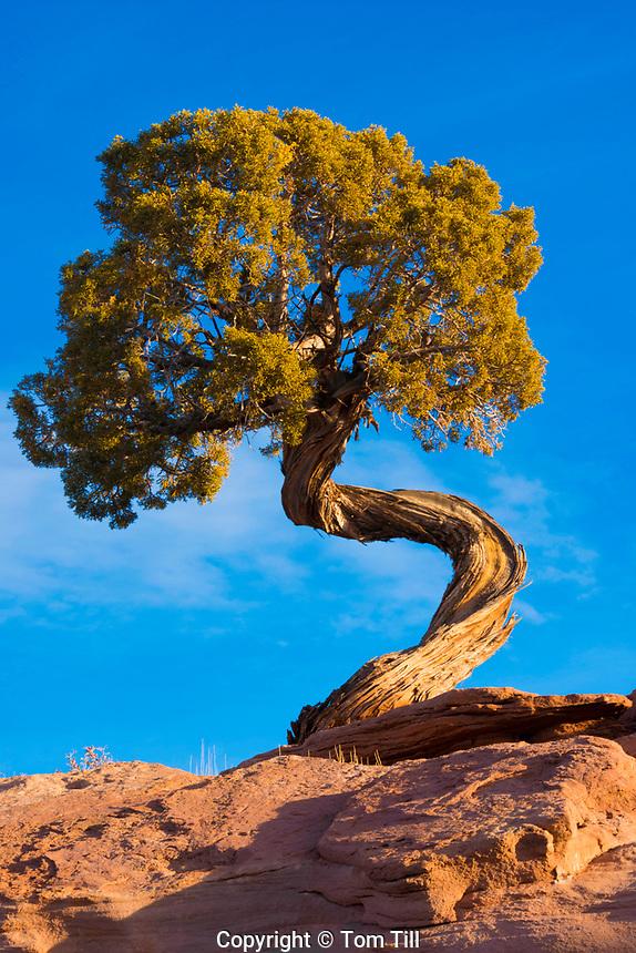 Twisted Utah juniper, Dead Horse Point State park, Utah  Juniperus osteosperma