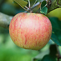 Apple 'Newton Wonder', late September. A popular, late-flowering English culinary apple. Originally discovered in about 1870 at King's Newton in Derbyshire.