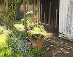 Springtime corner in English cottage garden with forget-me-nots, garden plants in pots, old shed barn, UK