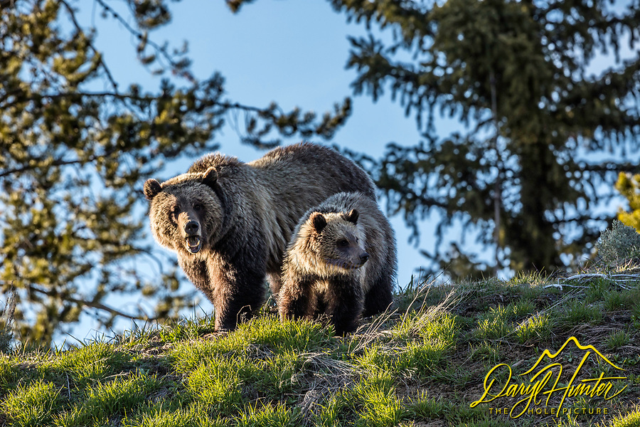 I grizzly bear sow and one year old cub enjoying a fine spring evening in Jackson Hole Wyoming. A wonderful evening for a family portrait.