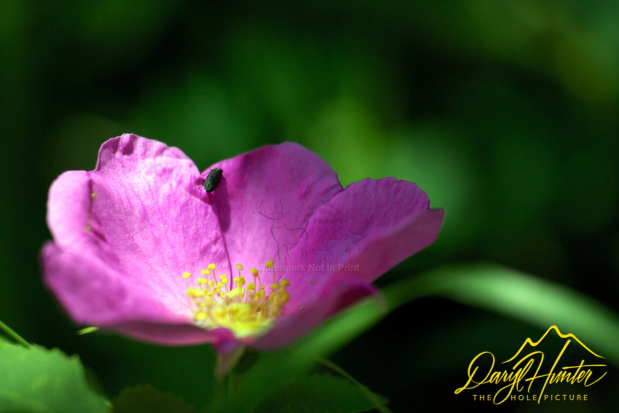 Wild Rose, macro wildflowers