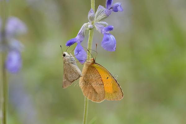 Eufala Skipper (Lerodea eufala), Lost Maples State Natural Area, Hill Country, Texas, USA